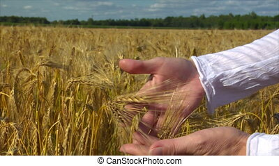 woman hands control wheat
