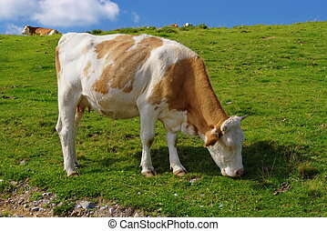 Cow - Brown cow in summer pasture.