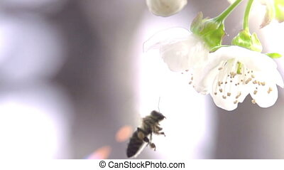 Bee and Flower - Slow Motion at a rate of 480 fps. Bee...