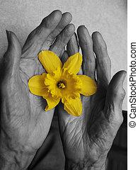 viejo, Manos, flor