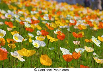 colorful iceland poppy - this photo is taken in Osaka city