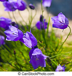 Tiny, 'campanula, get, mee', (or, bellflowers), soft,...
