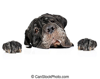Dog and cardboard. - Dog and cardboard isolated over white.