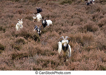 Landrace goats on the moor - A flock of Dutch Landrace goats...