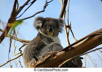 Koala, eucalipto, árbol
