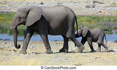 elephants walking in lockstep - Elephant and her baby...