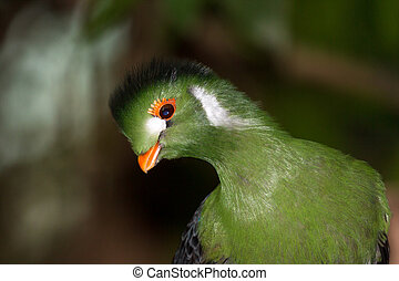 Cheeky Turaco - The White-cheeked Turaco Tauraco leucotis