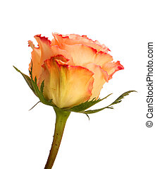 Peach rose  isolated on white background
