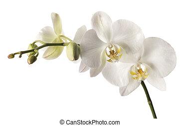 branca, dendrobium, orquídea, isolado, branca, fundo