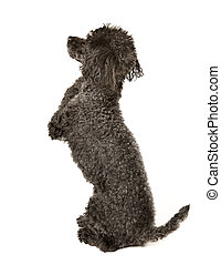 I Pledge Allegiance, To the Flag Black toy poodle in a pose...