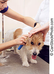 Jack Russell Terrier getting his hair cut at the groomer