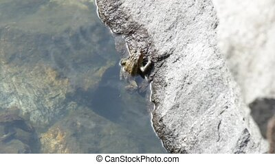 toad rock - male toad Bufo bufo in a pond