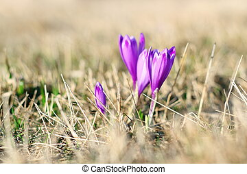 spring wild flowers on a meadow - crocus sativus in april