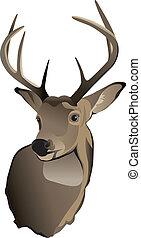 trophée, whitetail, cerf, mâle