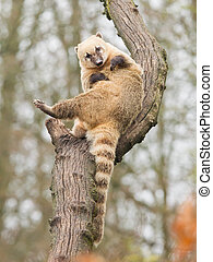 Coatimundi scratching himself in a tree zoo, Holland