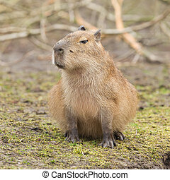 Capybara Hydrochoerus hydrochaeris sitting on the grass