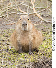 Capybara (Hydrochoerus hydrochaeris) sitting on the grass