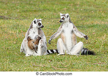 Ring-tailed lemur Lemur catta with youngsters on the grass