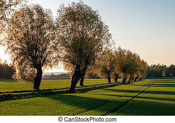 Spring in Sweden - Parkway with ash trees on a late evening...