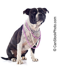 staffordshire bull terrier and pearl collar - portrait of a...