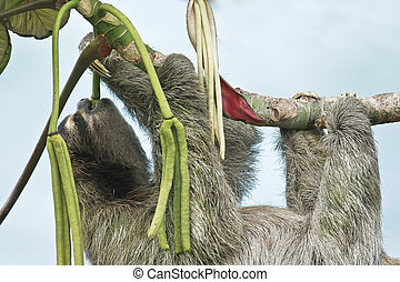 Sloth feeding in the tree, close up