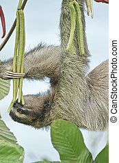 Sloth eating - Brown-throated three-toed sloth; Latin name -...