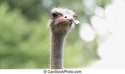 Portrait Ostrich - Portrait of a Ostrich