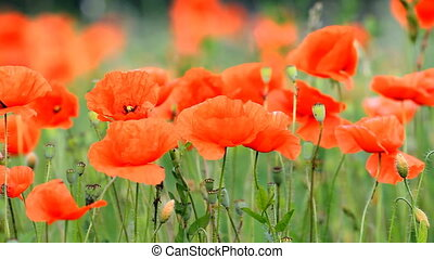red poppies - Beautiful red poppies