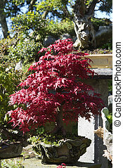 bonsai Acer Palmatum, red maple - bonsai Acer