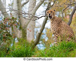 Beautiful cheetah in natural habitat