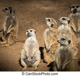 Clan of beautiful meerkats