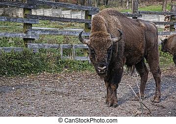 European bison in Slovakia Bison bonasus