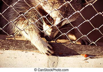 Racoon in a metal cage