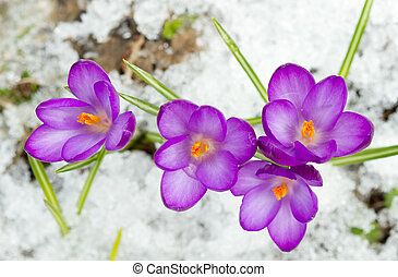Spring crocuses - Beautiful spring crocuses in the snow