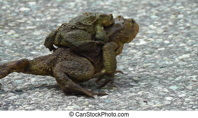 Common Toad - Bufo - pairing - Toads during mating - Male on...
