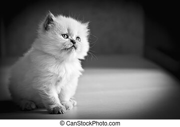 White Persian Cat black and white - White female Himalayan...