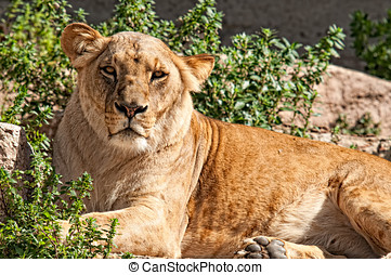 Lioness resting and looking at the camera
