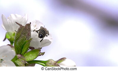 Flying Bee - A Bee Collects Nectar from a Cherry Blossom and...