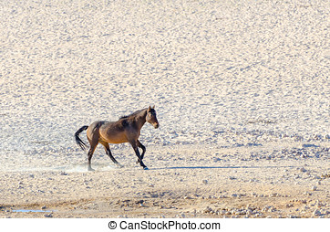 The rare Namib desert horse Equus ferus caballus, the only...