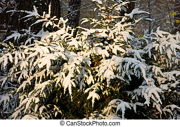 yew tree with snow
