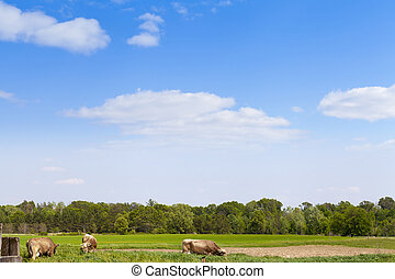 Cows on field with blue sky