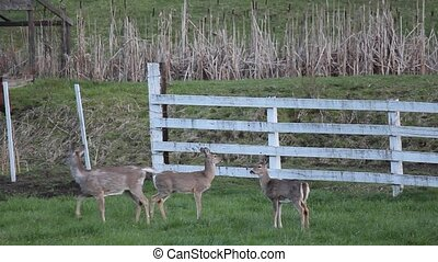 Nervous Whitetail Deer - These nervous whitetail deer want...