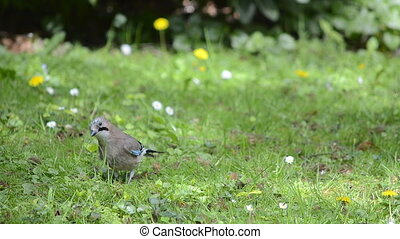 Eurasian Jay on a green meadow - Nature clip of an eurasian...