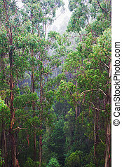 famous australian Rainforest - Rainforest in the rain from...