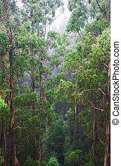 famous australian Rainforest - Rainforest in the rain from...