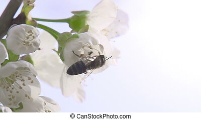 Bee on a Flower Cherry - Bee flies from flower cherry Slow...