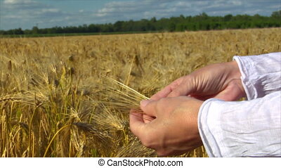 woman hands control wheat close