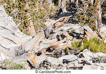 Ancient Bristlecone Pine Forest is high in the White...