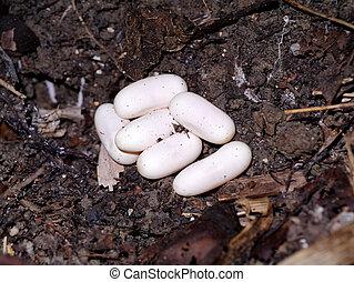 huevos,  cobra, suelo