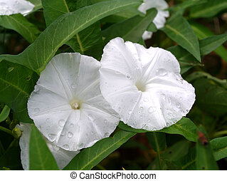 White morning glory flowers.
